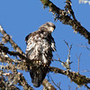 Bald_Eagles_12_31_10_0010