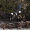 Bald_Eagles_12_19_10_0001a