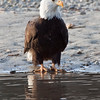 Bald_Eagles_12_31_10_0005