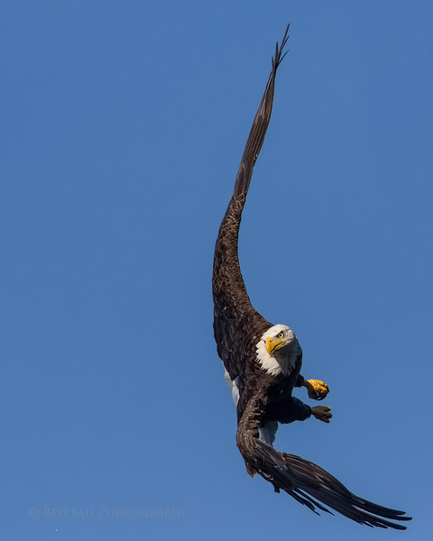 Bald Eagle turns to attack a school of fish feeding on the surface of the pond.
