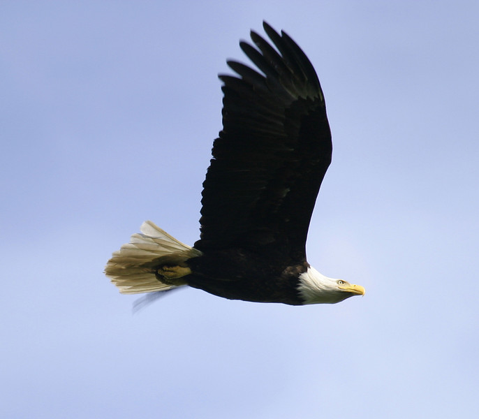 A wild American bald eagle with wings raised up is flying overhead. This majestic symbol of American freedom is profiled against a solid blue sky.