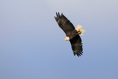 """BALD EAGLE 0871  """"Autumn Eagle riding the thermals over Mt. Sophie""""  Grand Portage, MN"""