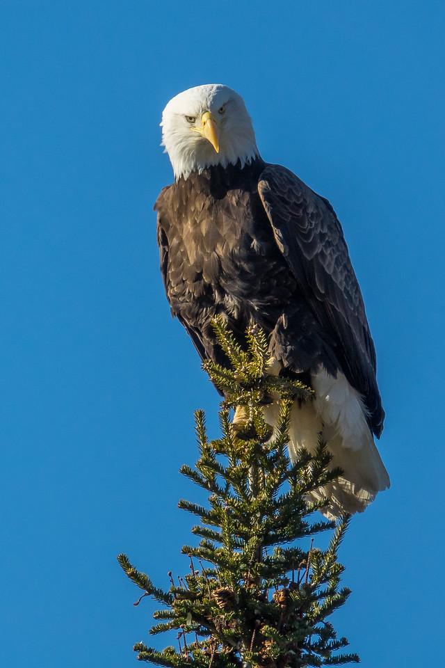 "BALD EAGLE 02137<br /> <br /> ""Curious Eagle""<br /> <br /> Hovland, MN"