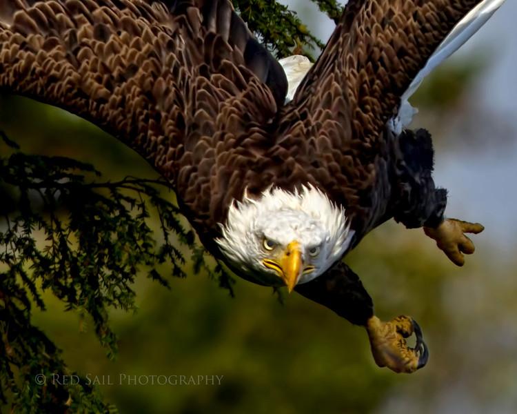 Evil Eagle.