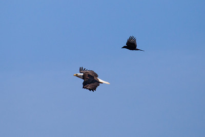 """BALD EAGLE 5883  """"Eagle Action""""  An eagle being chased by a raven at Grand Portage State Park, MN"""