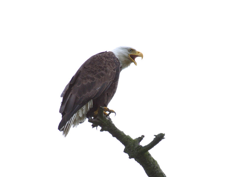 An American bald eagle perched on top of a tree on a bare branch. This eagle has been isolated to a white background.