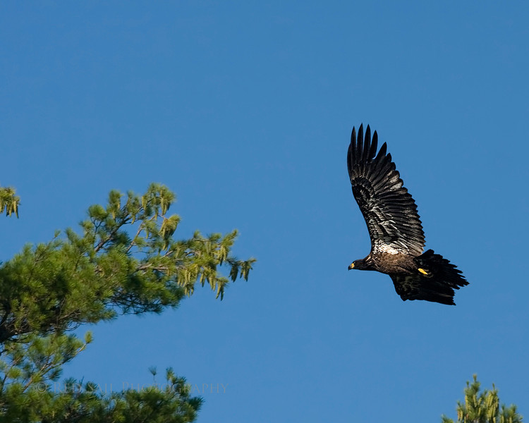 Waiting for one of the parents to return to the nest with a fish, the juv spends time circling.