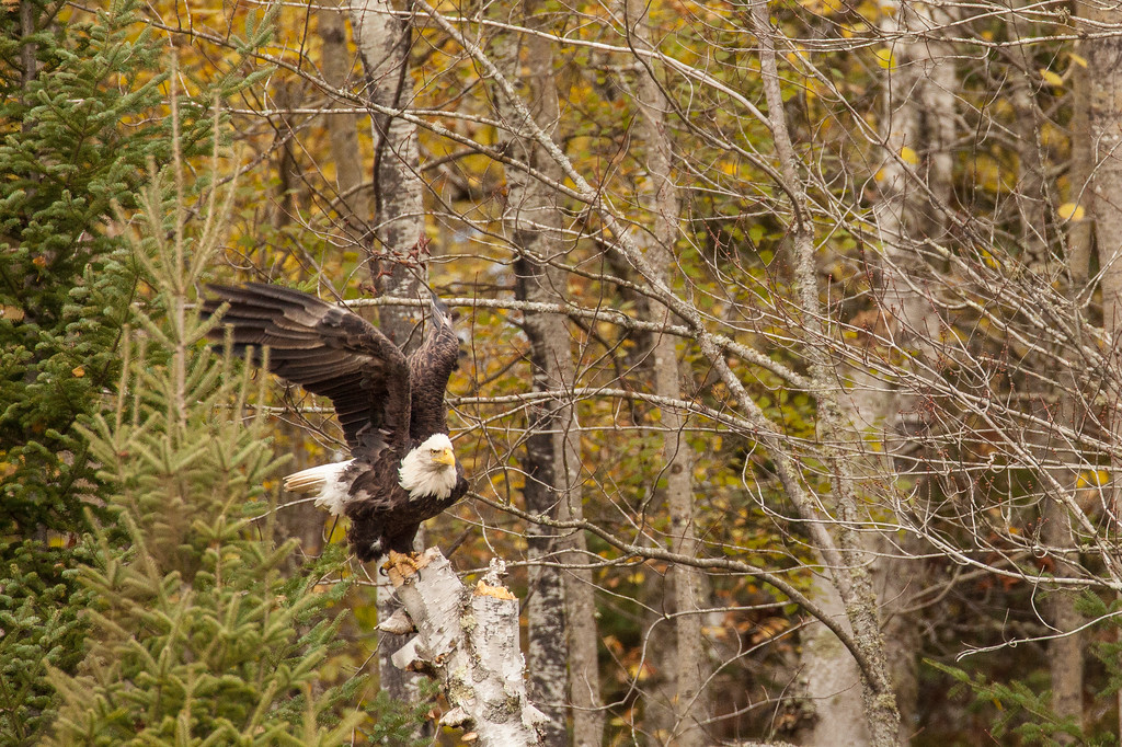 "BALD EAGLE 0184<br /> <br /> ""A chance encounter with a bald eagle 02"""
