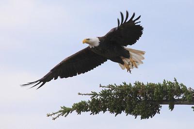 """BALD EAGLE 0885  """"Lift-Off!""""  Bald Eagle near Grand Marais, MN"""