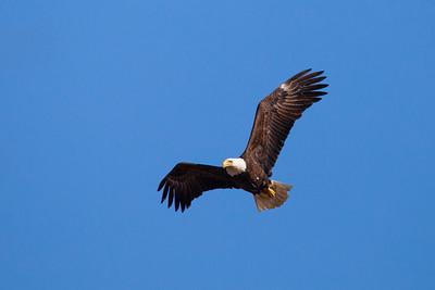 "BALD EAGLE 5885  ""Soaring Eagle""  Grand Portage State Park, MN"