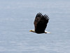 An American bald eagle (haliaeetus leucocephalus) flying over the waters of Puget Sound.