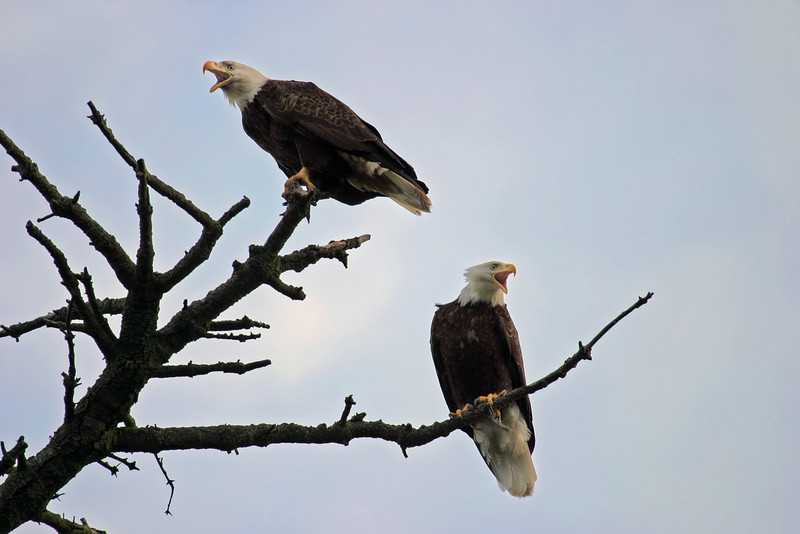 Two American bald eagles are perched on the top branches of a tree and profiled against a light blue sky. These large, majestic birds that are symbolic of American freedom; these two eagles both have their beaks open as they screaming at some of the crows circling off camera.