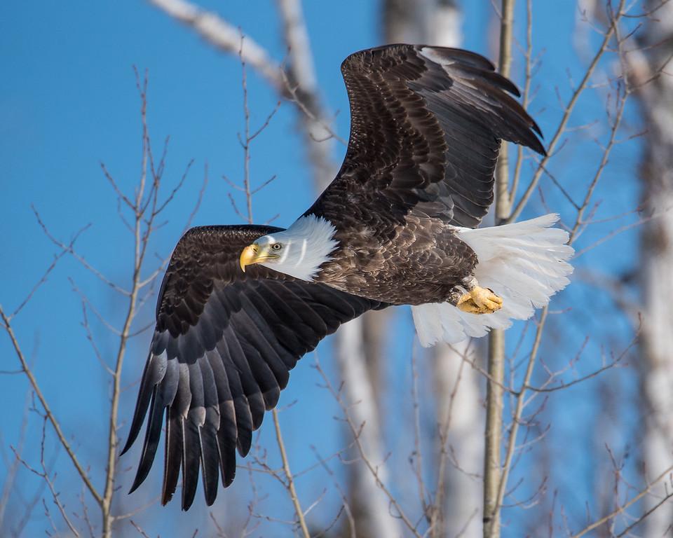 """BALD EAGLE 0634<br /> <br /> """"Banded Eagle In Flight""""<br /> <br /> Cascade River State Park, MN"""