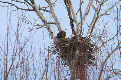 "BALD EAGLE 9509  ""Watching over the nest""  A pair of Eagles watches over their nest as they take turns incubating the eggs.  Butterwort Cliffs Scientific Natural Area - Near Cascade River State Park, MN."
