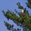 Bald Eagle looking out over Parks Pond, Maine