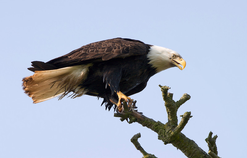 An American bald eagle perched in a tree branch just after landing. The eyes and talons are clear and sharp.
