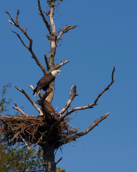 The Bald Eagle call is unique. What a great time I had photographing this nest and listening to these beautiful birds calling to each other.