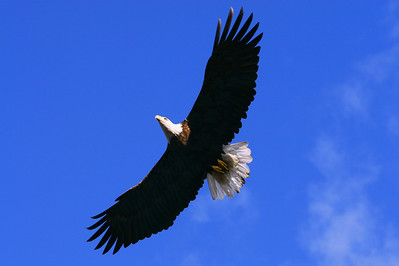 "BALD EAGLE 4222  ""Flyin' High""  Soaring over the Pigeon River - Grand Portage State Park, MN"