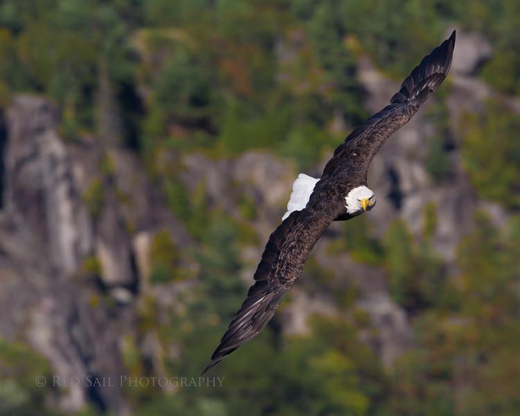 Bald Eagle surveys the pond surface.