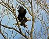 Magic Brush Eagle 11x14