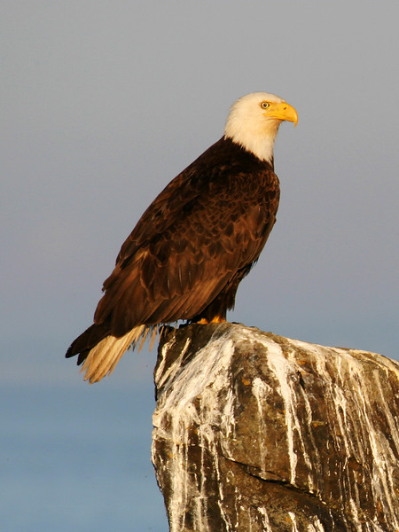 An American bald eagle perched on a favorite rock that overlooks the ocean. This is a rock that it has sat on many times.