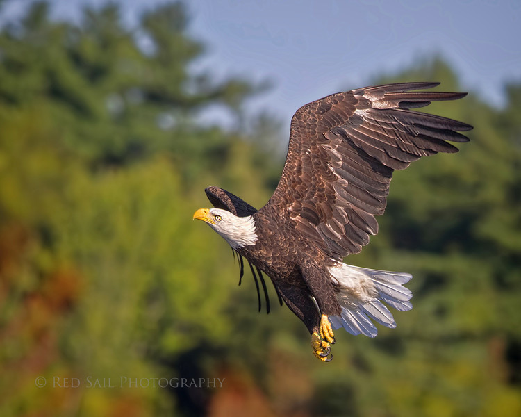 Bald Eagle in flight. Looking for a place to land.