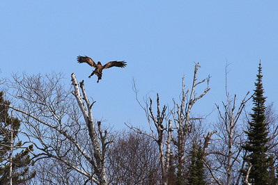 "BALD EAGLE 9246  ""Eagle Landing""  An immature Bald Eagle comes in for a landing on a Birch tree at Grand Portage State Park in Northeast Minnesota."