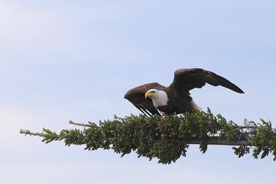 "BALD EAGLE 0884  ""Getting ready to jump...""  Bald Eagle near Grand Marais, MN"