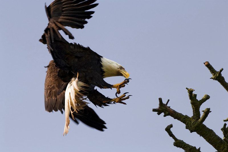 An American bald eagle preparing to land on a branch. It's wings are used for braking and its talons are ready to grasp the branch on contact.