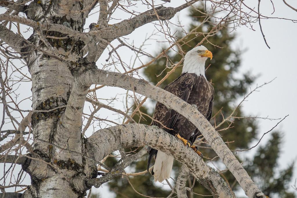 """BALD EAGLE 00645<br /> <br /> """"Highway 61 Eagle"""""""