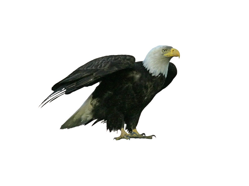 An American bald eagle with outstretched wings is about to take flight. This photograph has been isolated to a white background.