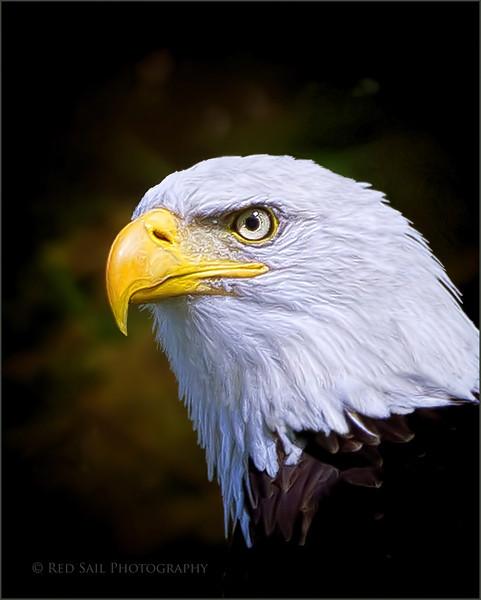 """""""Emily"""" Portrait of a Bald Eagle."""