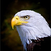 """Emily"" Portrait of a Bald Eagle."