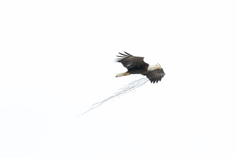 Bald Eagle carrying nesting material