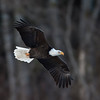 Bald_Eagles_12_31_10_0001