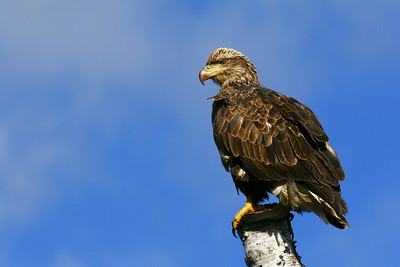 """BALD EAGLE 4237  """"Immature Eagle""""  Perched along the Pigeon River - Grand Portage State Park, MN"""
