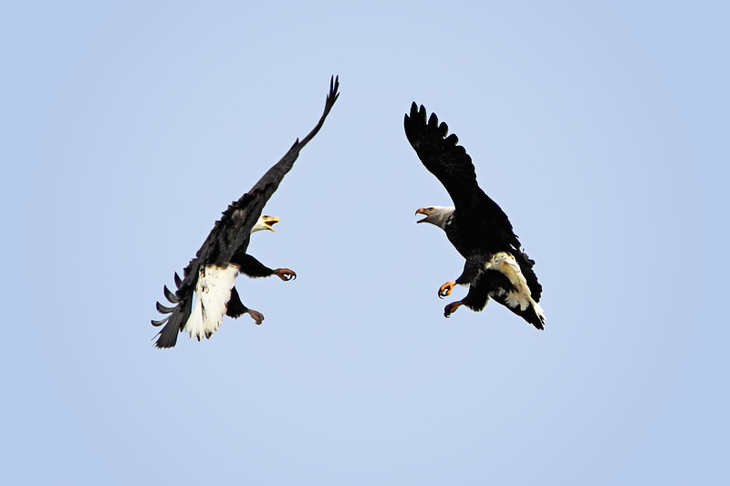 eagle fight