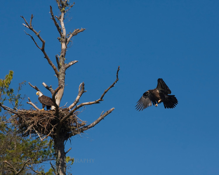 The adult just returned to the nest with a fish with the juv close behind.