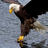A split second before the big splash catch of the Bald Eagle.