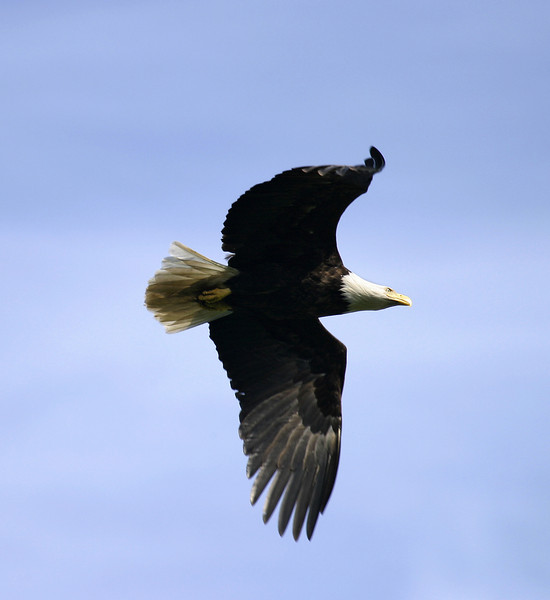 An American bald eagle in mid-air with its wings flapping as it worked to gain altitude.