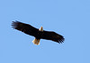 An American bald eagle (haliaeetus leucocephalus) with a full wingspan of over 6 feet is flying overhead.