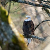 Bald_Eagles_12_19_10_0004a