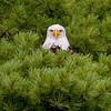Bald Eagle in Pine