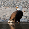 Bald_Eagles_12_31_10_0009