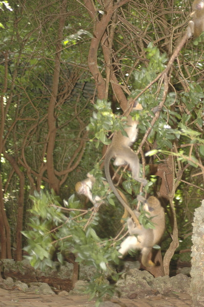As I sat taking photos, monkey's were coming from everywhere.  It was a great way to shoot.  Here are four that were wrestling in the trees.