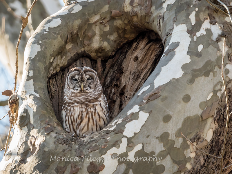 Barred-Owl-26 Feb 2017-7795