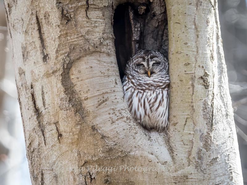 Barred-Owl-26 Feb 2017-7667
