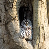 Barred-Owl-26 Feb 2017-7914