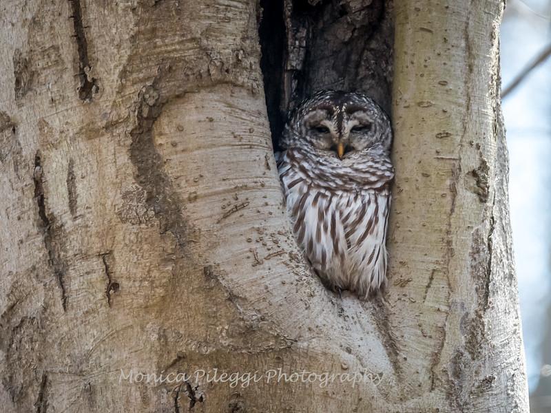 Barred-Owl-26 Feb 2017-7684