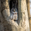 Barred-Owl-26 Feb 2017-7909
